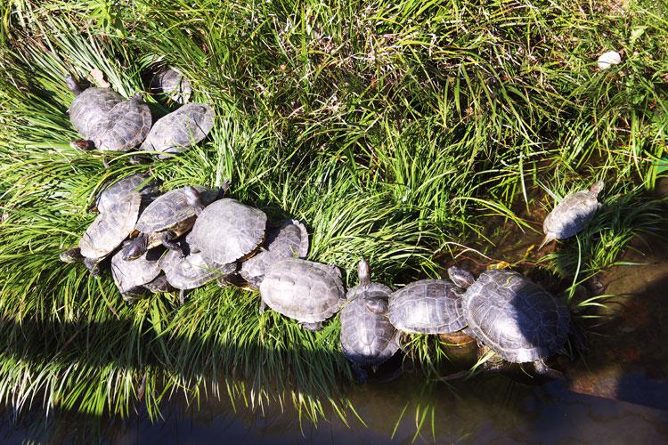 甲羅干しをしている亀の群れ