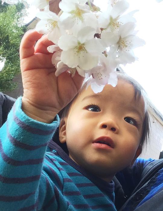 桜の花びらを触る叶大