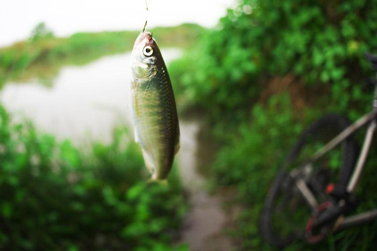 雨の中、食パンで釣れた12〜3cmくらいのオイカワ