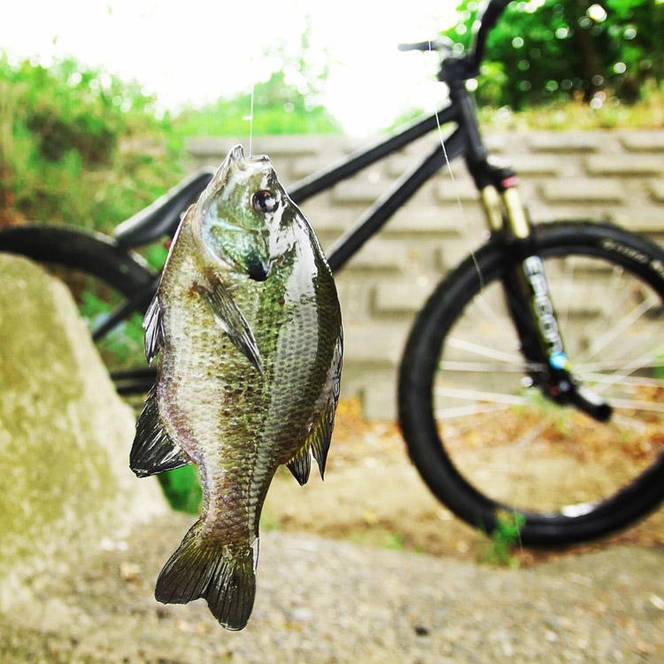 朝活BIKE & FISHで釣れたブルーギル