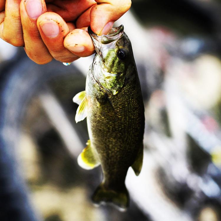 朝活BIKE & FISH ミミズで釣れたスモールマウスバス