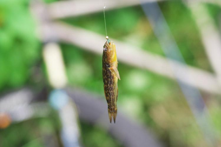 ミミズ+毛ばりで釣れたヌマチチブ