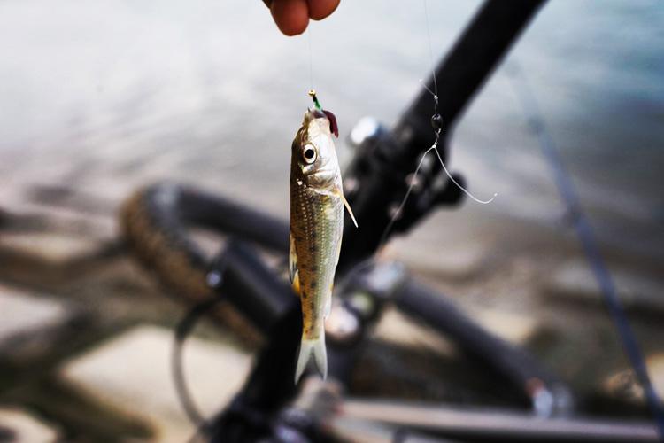 濁流の多摩川で小さなニゴイが釣れた