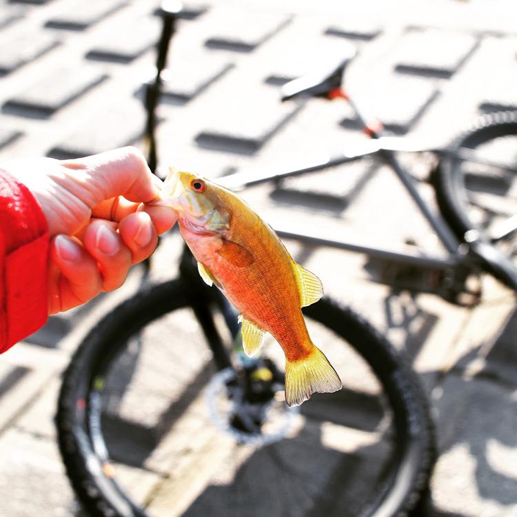 MTB マウンテンバイク YAMADORI 2nd 26 多摩川サイクリングロードで釣れたスモールマウスバス