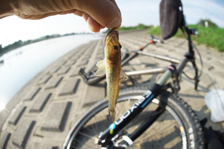 朝活BIKE & FISHで釣れたマハゼ