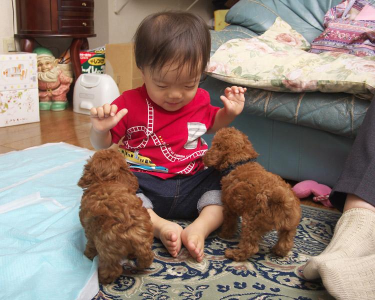 トイプードルの赤ちゃん2匹に囲まれる叶大
