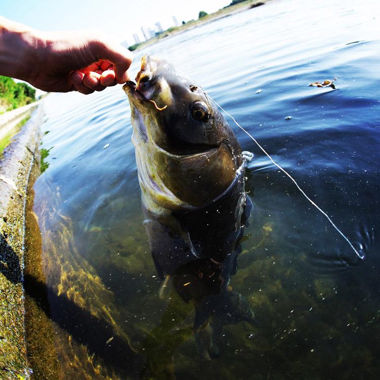 多摩川で野ゴイが釣れた