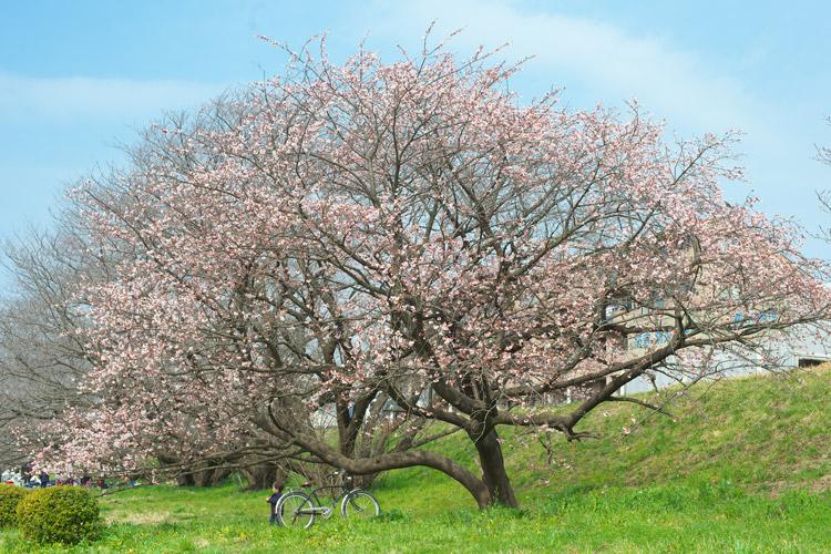 三分咲きの桜を見る叶大