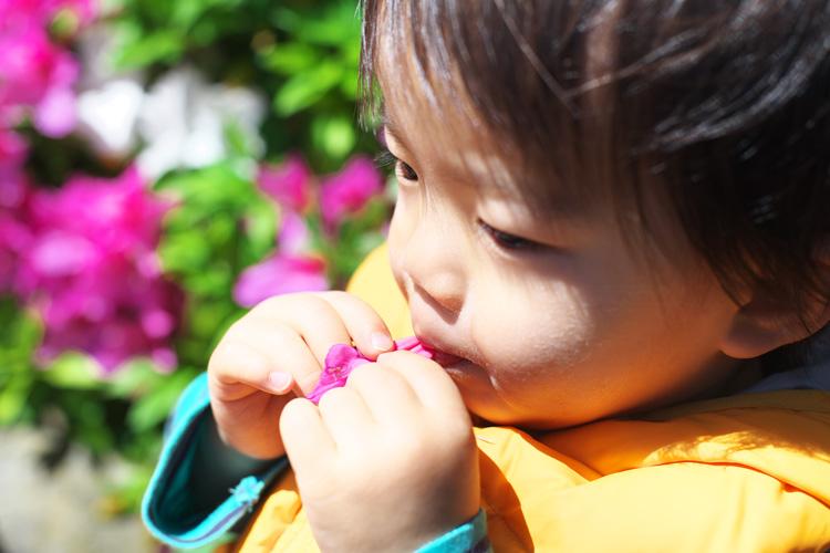 オオムラサキツヅジの花の蜜を吸う叶大