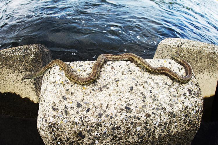 多摩川の朝活BIKE&FISHで見かけたアオダイショウ