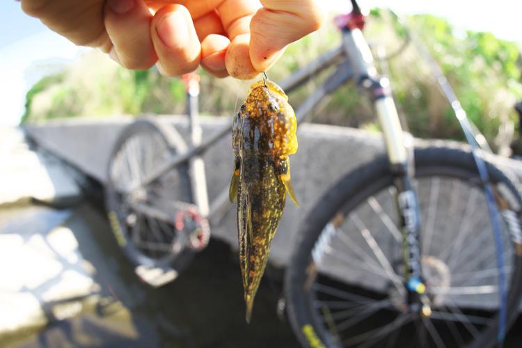 朝活BIKE&FISHで釣れたヌマチチブ(ダボハゼ)
