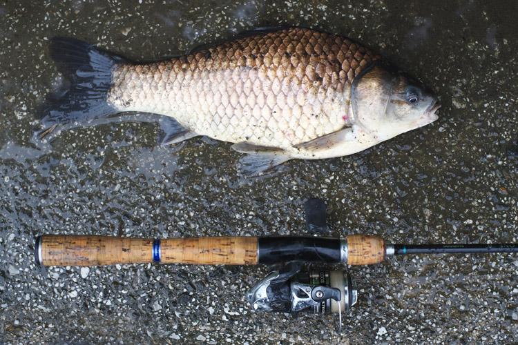朝活BIKE&FISHで釣れたキンブナ