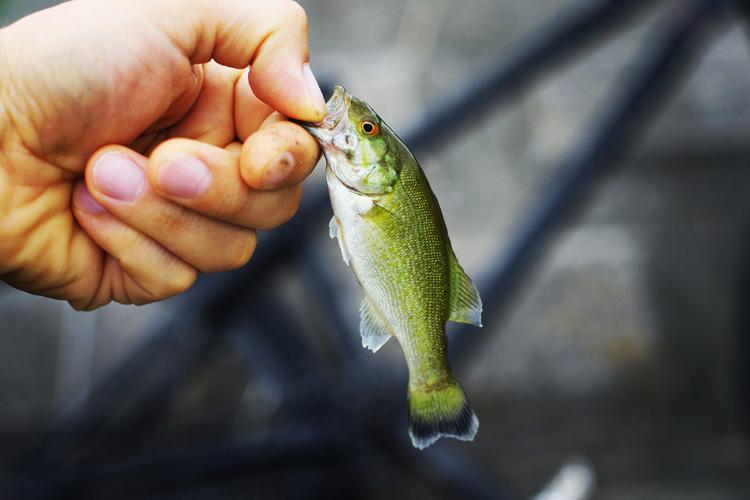 朝活BIKE&FISHで釣れたスモールマウスバス