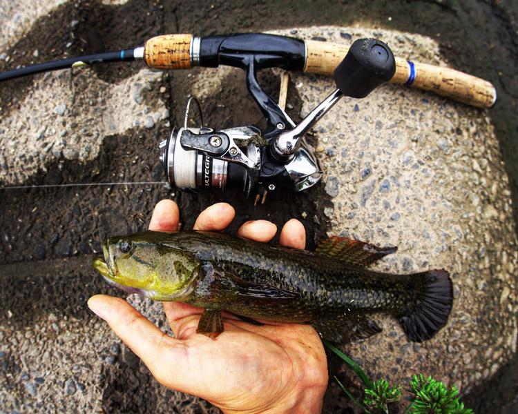 朝活BIKE&FISHで釣れたカワアナゴ