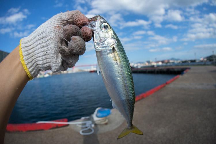 北九州若松港でサバ爆釣