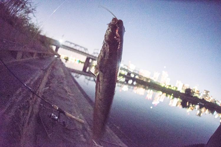 家の近所の多摩川河原でのスズキ(シーバス)釣りで釣れたナマズ
