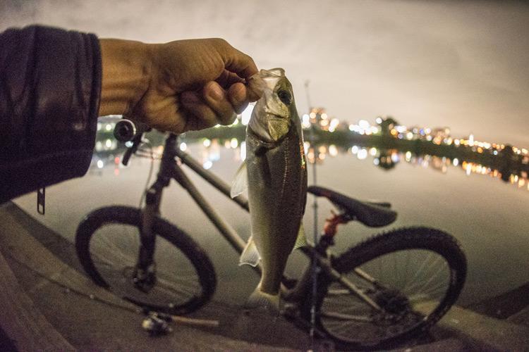 家の近所の多摩川河原でのスズキ(シーバス)釣りで釣れたセイゴ