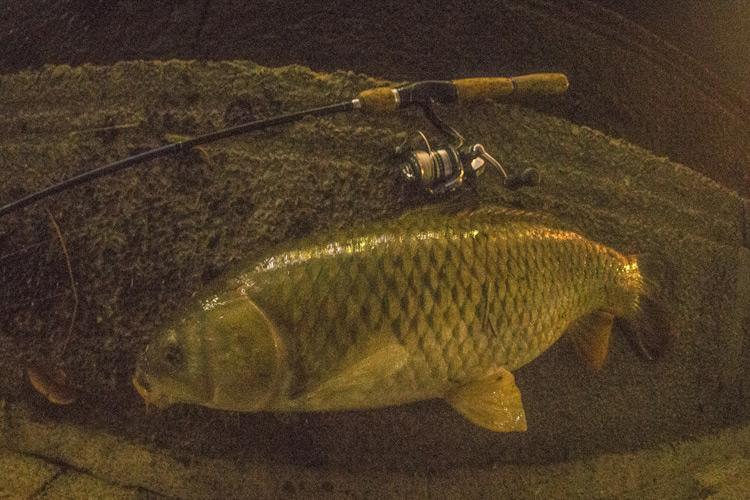 家の近所の多摩川河原でのスズキ(シーバス)釣りで釣れた70cmの野ゴイ