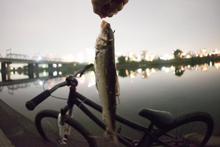 家の近所の多摩川河原でのスズキ(シーバス)釣りで釣れたニゴイ