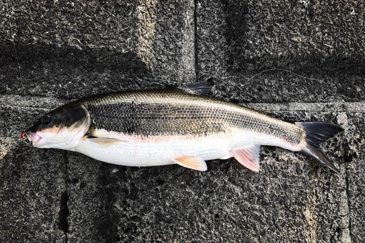 朝活BIKE&FISHで多摩川丸子橋付近でマルタウグイを釣りました