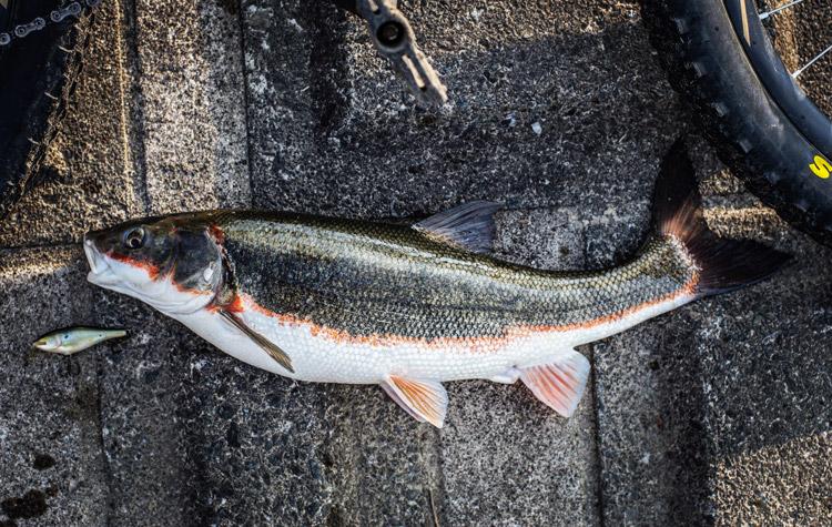 多摩川丸子橋で35年前のラパラのミノーで釣れたマルタウグイ