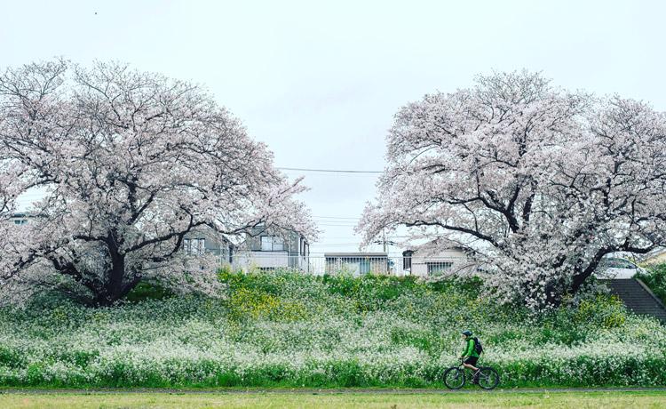 croMOZU275 3rd TEST多摩川河原サイクリングコース 桜の前で撮影