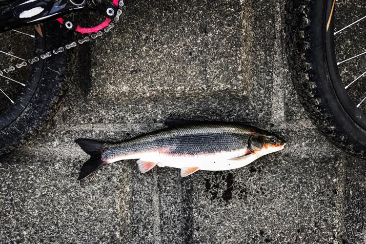 多摩川丸子橋で釣れたマルタウグイ