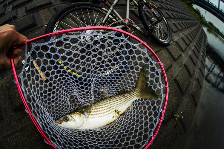 雨の中 朝活BIKE&FISHで釣れたボラ