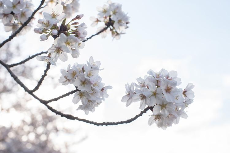 多摩川河原の桜 ソメイヨシノ