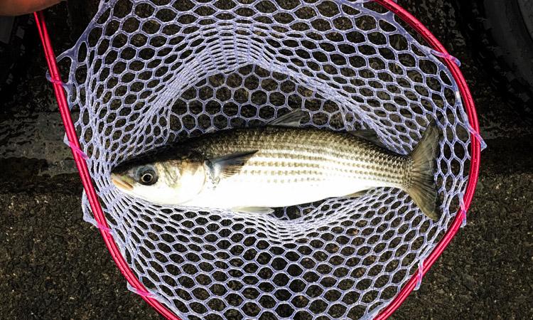 多摩川丸子橋での朝活BIKE&FISHで釣れたボラ タモ使用