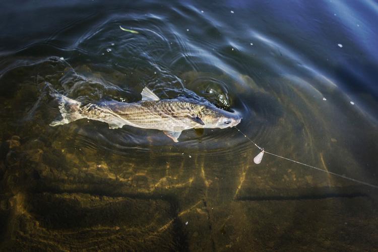 多摩川丸子橋での朝活BIKE&FISHで釣れたボラ