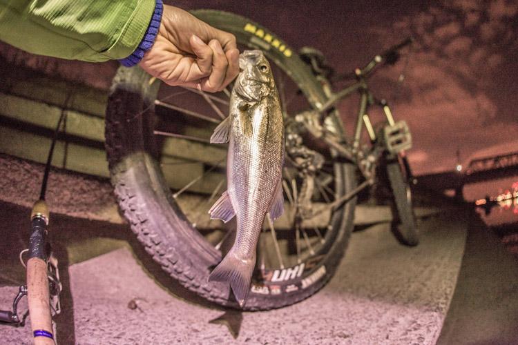 朝活BIKE&FISHで釣れた25cmのスズキ セイゴ