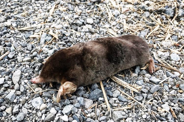 多摩川河原で見つけたモグラの死骸