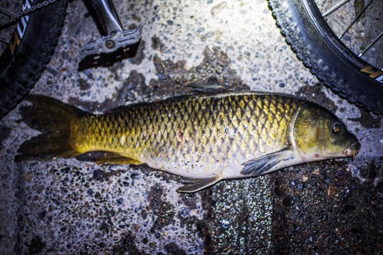 朝活BIKE&FISHで釣れた60cmのコイ