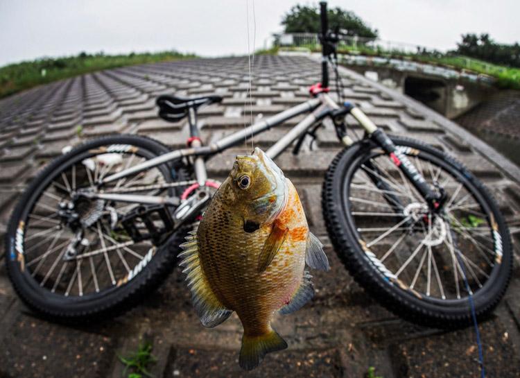 朝活BIKE&FISHで釣れたブルーギル
