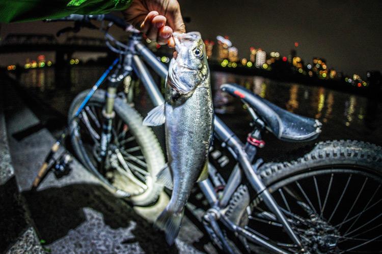 朝活BIKE&FISHで釣れたスズキ(セイゴ)