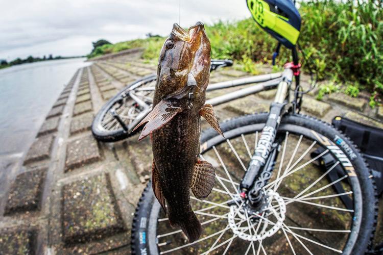 朝活BIKE&FISHで濁流の多摩川で釣れたカワアナゴ
