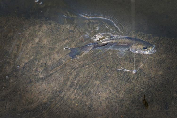 朝活BIKE&FISHで釣れたスズキ セイゴ