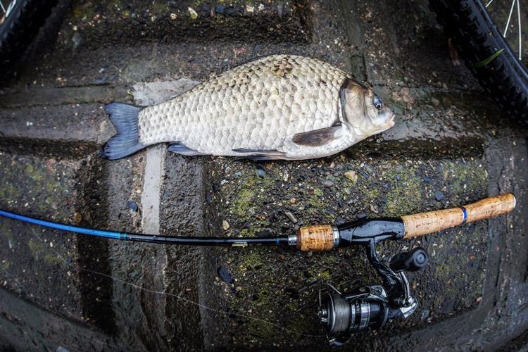 朝活BIKE&FISHで釣れた35cmのヘラブナ 半ベラ