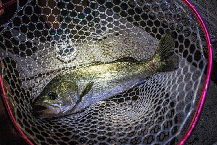 夕方多摩川で釣れたスズキ