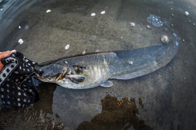 多摩川河原 叶大とナマズ釣り