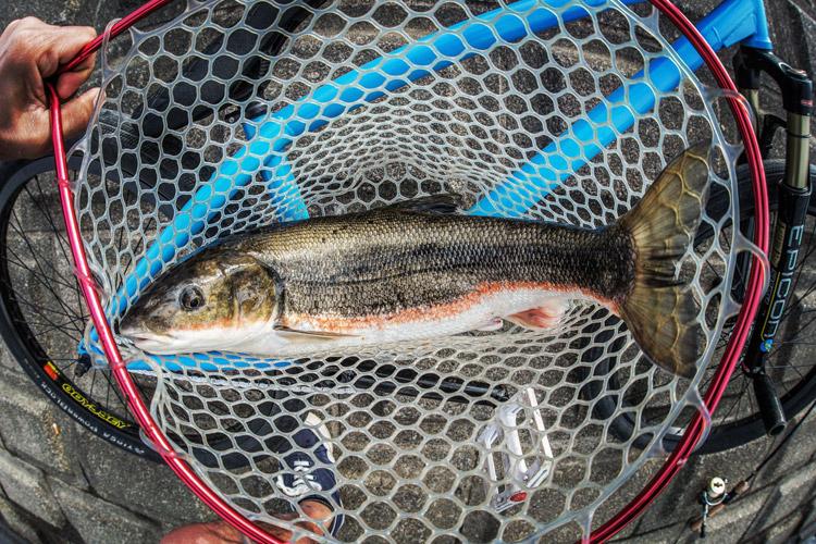多摩川河原 BIKE&FISH マルタウグイ