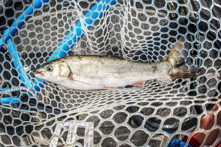 多摩川河原 BIKE&FISH ウグイ