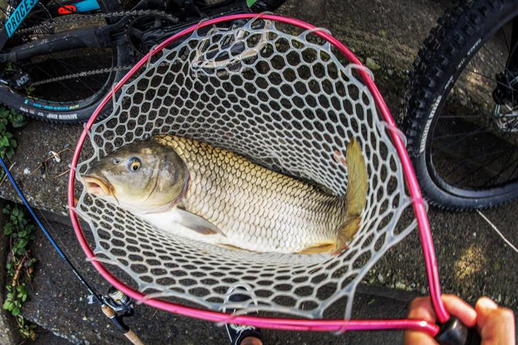 多摩川 BIKE&FISH 釣れたノゴイ60cm