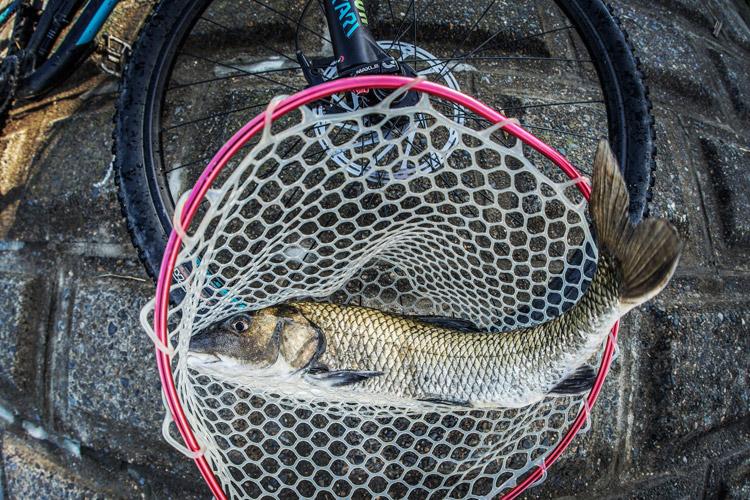 多摩川 朝活BIKE&FISHで釣れた70cmオーバーのニゴイ