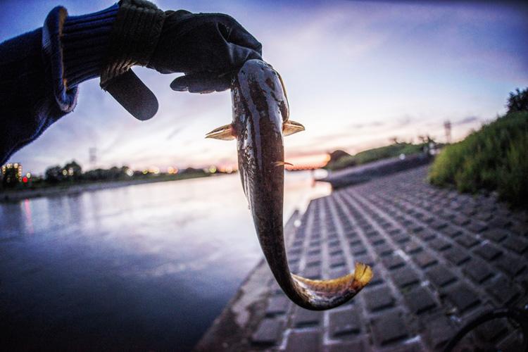 多摩川 BIKE&FISH ナマズ