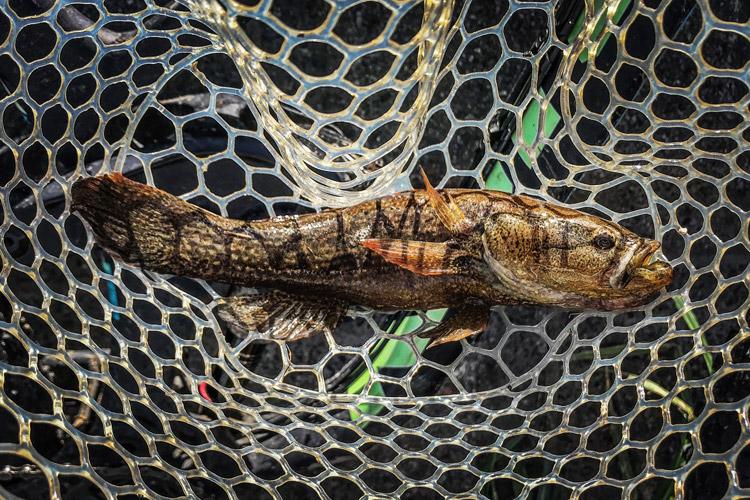 多摩川 朝活BIKE&FISHで釣れたカワアナゴ
