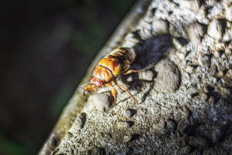 多摩川台公園 セミの幼虫