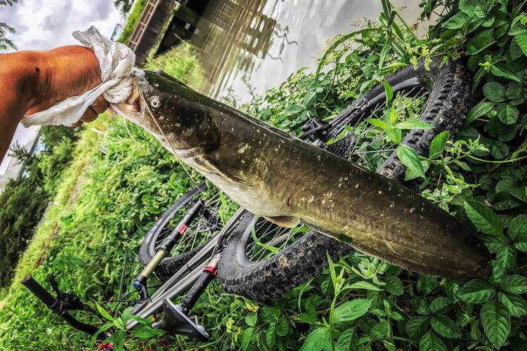 多摩川 朝活BIKE&FISHで釣れたナマズ