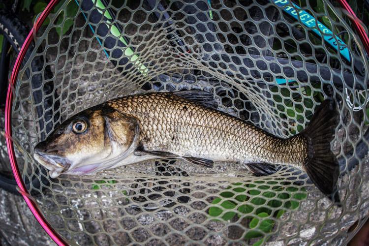 多摩川 朝活BIKE&FISHで釣れたニゴイ